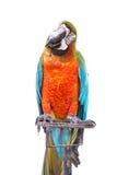 Ciérrese encima del macaw colorido del loro aislado en blanco Fotos de archivo