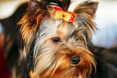 Ciérrese encima del perro lindo de Yorkshire Terrier Fotos de archivo libres de regalías