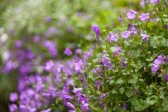 Ciérrese para arriba de flores púrpuras Foto de archivo