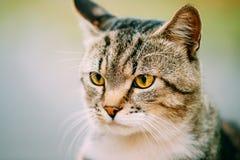Ciérrese para arriba de gato de los jóvenes de Gray And White Short-Haired Domestic Fotos de archivo