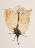 Ciérrese para arriba de la flor presionada seca Imagen de archivo
