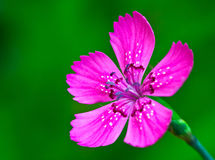 Ciérrese para arriba de la flor violeta Fotografía de archivo