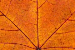 Ciérrese para arriba de la hoja de arce otoñal colorida Foto de archivo libre de regalías