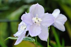 Ciérrese para arriba de las flores azul claro del Delphinium (elatum) Fotografía de archivo