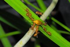 Ciérrese para arriba de las hormigas rojas del tejedor, trabajo en equipo o las hormigas rojas del tejedor rasgan aparte su presa Imagenes de archivo