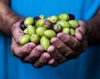 Ciérrese para arriba de las manos de un hombre que llevan a cabo un puñado de aceitunas Foto de archivo libre de regalías