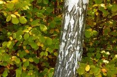 Ciérrese para arriba de tronco del abedul en bosque del otoño. Imagen de archivo libre de regalías
