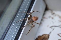 Ciérrese para arriba de una araña marrón en la ventana Fotos de archivo libres de regalías