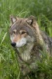 Ciérrese para arriba de Wolf Peeking Through Tall Grass Imagen de archivo libre de regalías