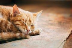 Ciérrese para arriba del pequeño rojo anaranjado pacífico Tabby Cat Male Kitten Curl Fotos de archivo libres de regalías