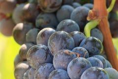 Ciérrese para arriba del racimo de uvas de vino Imagenes de archivo