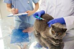 Ciérrese para arriba del veterinario que hace la vacuna al gato en la clínica Imagenes de archivo