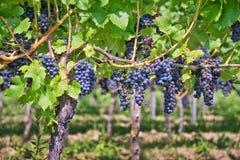 Ciérrese para arriba en las uvas en un viñedo Foto de archivo libre de regalías