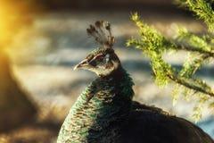 Ciérrese para arriba en pavo real femenino en fondo natural Fotos de archivo