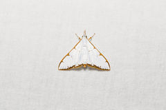 Cirrhochrista aetherialis moth Royalty Free Stock Photo