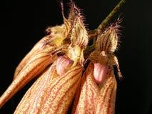 CIRRHOPETALUM `` ELIZABETH BUCKLEBURY ANN `` TROPIKALNA orchidea obraz royalty free