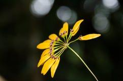Cirrhopetalum-Orchidee Lizenzfreies Stockbild