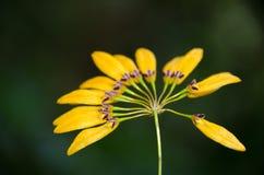 Cirrhopetalum-Orchidee mit Naturhintergrund Lizenzfreie Stockfotografie
