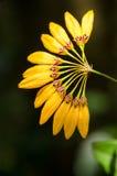 Cirrhopetalum-Orchidee mit Naturhintergrund Lizenzfreie Stockbilder