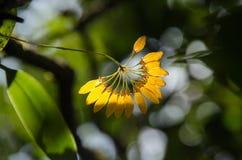 Cirrhopetalum orkidé med naturbakgrund Arkivfoto