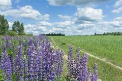 Cirri bianchi sul cielo blu di luce del giorno sopra i fiori del campo e del lupino dell'azienda agricola Immagini Stock Libere da Diritti