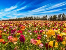 Cirrus thin clouds. Spring in Israel. Cirrus thin clouds. Magnificent multi-colored buttercups sway from the spring wind. The concept of active, ecological and royalty free stock photo