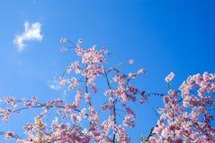 Cirrusmolnmoln ovanför blommande träd royaltyfri foto