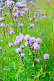 Cirsium arvense (Creeping Thistle) flowers Royalty Free Stock Photo