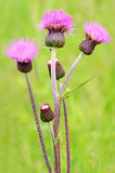 Cirsium arvense flowers Royalty Free Stock Image