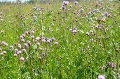 Cirsium arvense flowers Stock Images