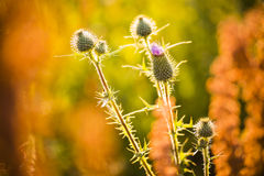 Cirsium arvense flowers after flowering Stock Photography