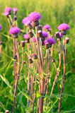 Cirsium arvense flowers Royalty Free Stock Photo