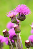 Cirsium arvense flowers Stock Photos