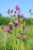Cirsium arvense flowers Stock Photography