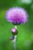 Cirsium arvense Stock Photo