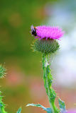 Cirsium Royalty Free Stock Images