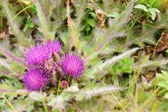 Cirsium esculentum kwiat Fotografia Stock