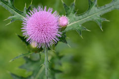 Cirsium japonicum flowers. Traditional Chinese medicine wildflower weeds green leaf woods southern  nature yard weed leaves spring fragrant growth wild flower Stock Photos