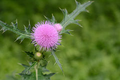 Cirsium japonicum flowers. Traditional Chinese medicine wildflower weeds green leaf woods southern  nature yard weed leaves spring fragrant growth wild flower Royalty Free Stock Photography