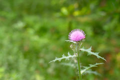 Cirsium japonicum flowers. Traditional Chinese medicine wildflower weeds green leaf woods southern  nature yard weed leaves spring fragrant growth wild flower Royalty Free Stock Images