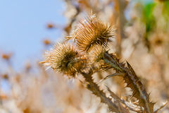 Cirsium sec Vulgare Image stock