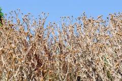 Cirsium sec Vulgare Photographie stock