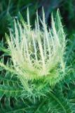 Cirsium spinosissimum, weiße Distel Lizenzfreies Stockbild