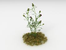 Cirsium vulgare ilustracji