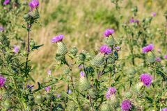 Cirsium vulgare plant royalty free stock photography