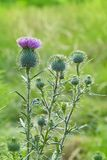 Cirsium vulgare, Spear thistle, Bull thistle, Common thistle, royalty free stock images