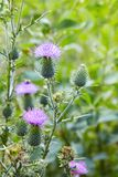 Common thistle, short lived thistle plant with spine tipped winged stems and leaves, stock images