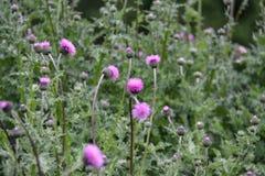 Cirsium vulgare, tak?e zna? jako oszczepowy oset, byka oset lub pospolity oset, zdjęcie royalty free