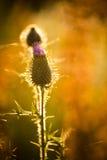Cirsiumarvense blommar, når det har blommat Arkivbild