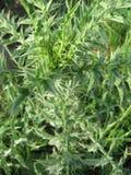 cirsiumvulgare Royaltyfria Bilder